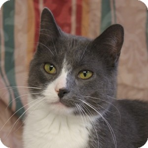 Domestic Shorthair Cat for adoption in Naperville, Illinois - Abe