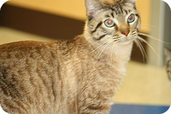 Siamese Cat for adoption in Allentown, Pennsylvania - Sammy