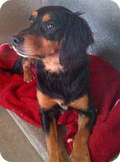 Spaniel (Unknown Type)/Beagle Mix Dog for adoption in Ellington, Connecticut - Rex