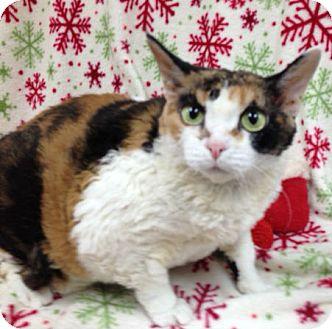 Devon Rex Cat for adoption in North Fort Myers, Florida - Minnie