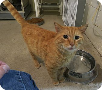 Domestic Shorthair Cat for adoption in Geneseo, Illinois - Sunfire