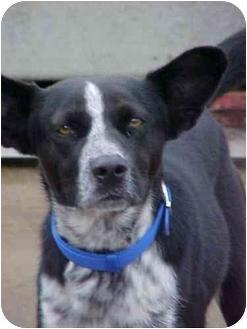 Border Collie Mix Dog for adoption in Cambridge, Ohio - Freddy