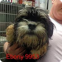 Adopt A Pet :: Ebony - Greencastle, NC