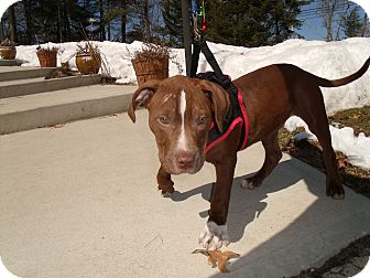 Pit Bull Terrier/Staffordshire Bull Terrier Mix Puppy for adoption in Worcester, Massachusetts - ForD