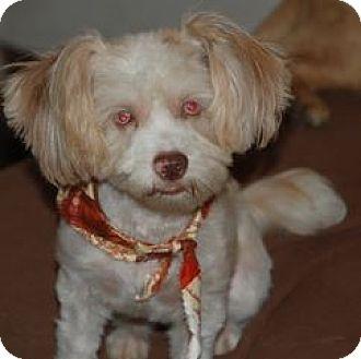 Shih Tzu Dog for adoption in Chattanooga, Tennessee - Rhett