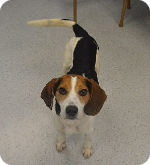 Beagle Mix Dog for adoption in Gainesville, Florida - Bufford