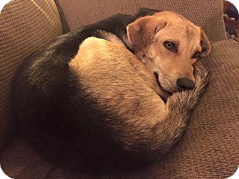 Shepherd (Unknown Type)/Hound (Unknown Type) Mix Dog for adoption in Billerica, Massachusetts - SUSIE