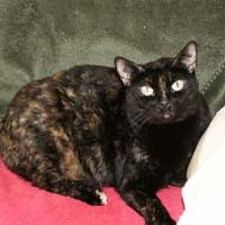 Domestic Shorthair Cat for adoption in Naples, Florida - Mitsy