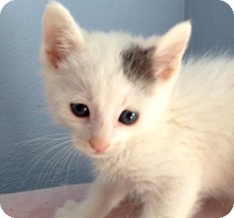 Domestic Shorthair Kitten for adoption in Eureka, California - Ranger