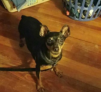 Miniature Pinscher Dog for adoption in ROME, New York - Felicia