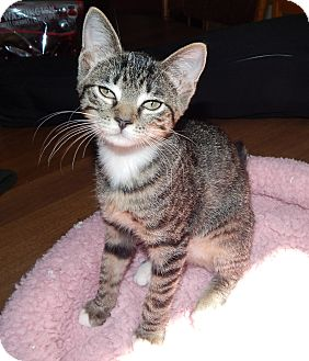 Domestic Shorthair Kitten for adoption in Plano, Texas - WOBBLES - MIRACLE KITTY!