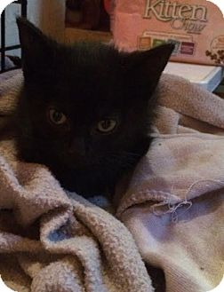 Domestic Shorthair Kitten for adoption in Lindsay, Ontario - Midnight