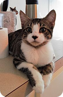 Domestic Shorthair Cat for adoption in Tampa, Florida - Pierce
