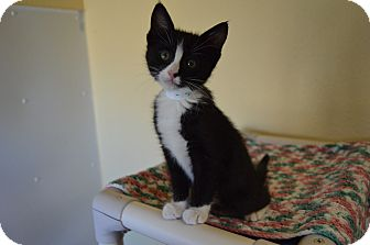 Domestic Shorthair Kitten for adoption in Buena Vista, Colorado - Elmo