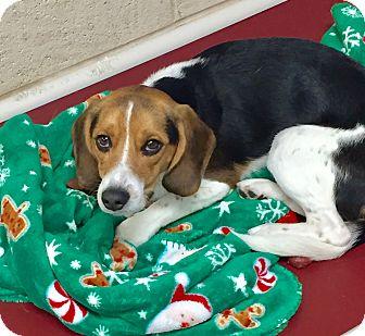 Beagle Mix Dog for adoption in Greensburg, Pennsylvania - Buddy