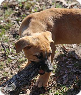 Labrador Retriever/Shepherd (Unknown Type) Mix Puppy for adoption in Nesbit, Mississippi - Jackson (M)