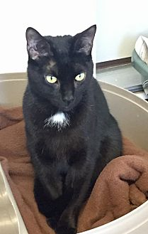 Domestic Shorthair Cat for adoption in Greensburg, Pennsylvania - Shadow
