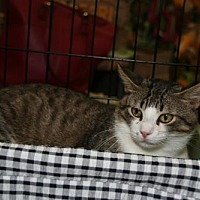Domestic Shorthair Cat for adoption in Pineville, Louisiana - Reuben
