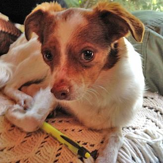 Chihuahua/Spaniel (Unknown Type) Mix Dog for adoption in Midvale, Utah - scrappy