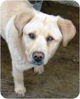 Golden Retriever/Labrador Retriever Mix Puppy for adoption in Salem, Massachusetts - Georgi