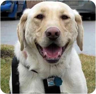 Labrador Retriever Mix Dog for adoption in Overland Park, Kansas - Bubba
