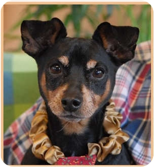 Miniature Pinscher Dog for adoption in Las Vegas, Nevada - Ace
