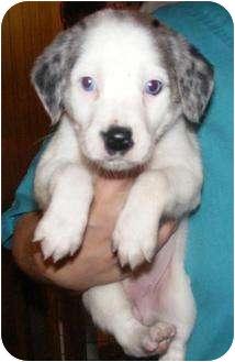 Border Collie/Australian Shepherd Mix Puppy for adoption in Oswego, Illinois - FLOWER CHILD Lily
