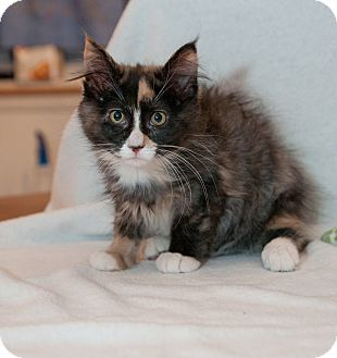 Domestic Mediumhair Kitten for adoption in Macomb Twp, Michigan - Tinsel