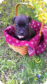 American Pit Bull Terrier Mix Puppy for adoption in Roaring Spring, Pennsylvania - Female # 3