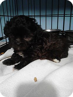 Shih Tzu/Poodle (Toy or Tea Cup) Mix Puppy for adoption in McMinnville, Tennessee - Cookie
