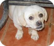 Beagle/Pug Mix Dog for adoption in dewey, Arizona - Bonfire