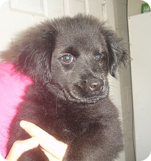 Labrador Retriever/Chow Chow Mix Puppy for adoption in Old Bridge, New Jersey - Quinn