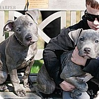 Adopt A Pet :: Blue Female Puppies - Reisterstown, MD