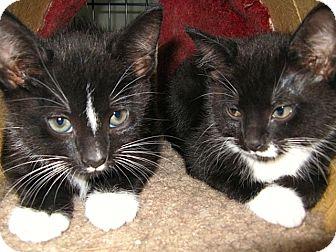 Domestic Shorthair Kitten for adoption in Beverly, Massachusetts - OREO and COOKIE