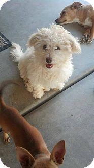 Maltese Mix Puppy for adoption in Mesa, Arizona - Molly