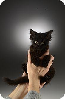 Domestic Mediumhair Kitten for adoption in Cincinnati, Ohio - Spidy Cat