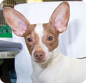 Chihuahua Mix Dog for adoption in New York, New York - Luigi