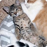 Adopt A Pet :: Deeks - The Colony, TX