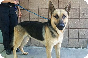 German Shepherd Dog Dog for adoption in Copperas Cove, Texas - No Name