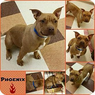 Pit Bull Terrier Mix Dog for adoption in Joliet, Illinois - Phoenix