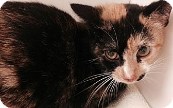 Calico Kitten for adoption in Waldorf, Maryland - Janet
