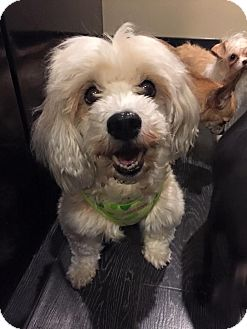Havanese Dog for adoption in Pittsburgh, Pennsylvania - Tansey