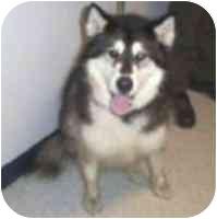 Alaskan Malamute Dog for adoption in Various Locations, Indiana - Kaya
