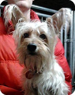 Silky Terrier Mix Dog for adoption in Bloomington, Illinois - Maylee
