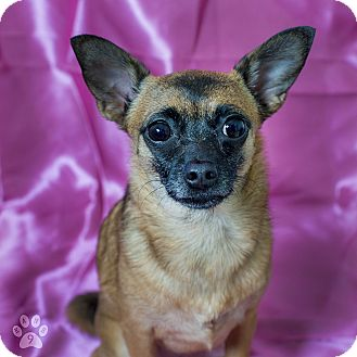 Chihuahua Mix Dog for adoption in Studio City, California - Chia