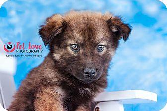Siberian Husky/German Shepherd Dog Mix Puppy for adoption in Cincinnati, Ohio - Sawyer