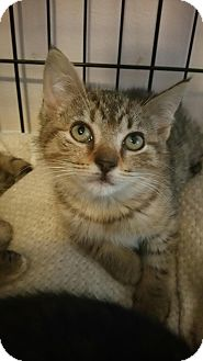 Domestic Shorthair Kitten for adoption in Palmyra, New Jersey - Rosie