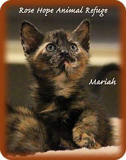 Domestic Shorthair Kitten for adoption in Waterbury, Connecticut - Mariah