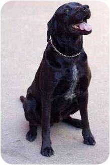 Labrador Retriever Mix Dog for adoption in Portland, Oregon - Baby