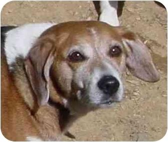 Beagle Dog for adoption in Waldorf, Maryland - Puddin